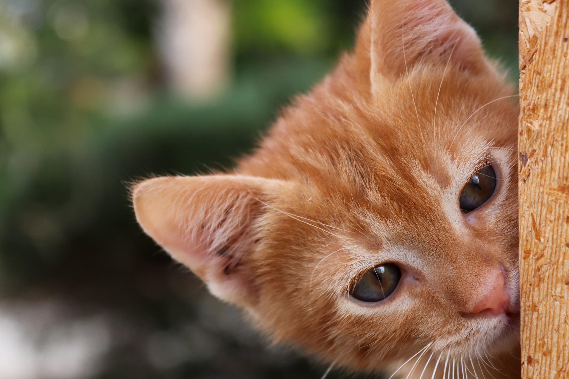orange cat peeking around corner