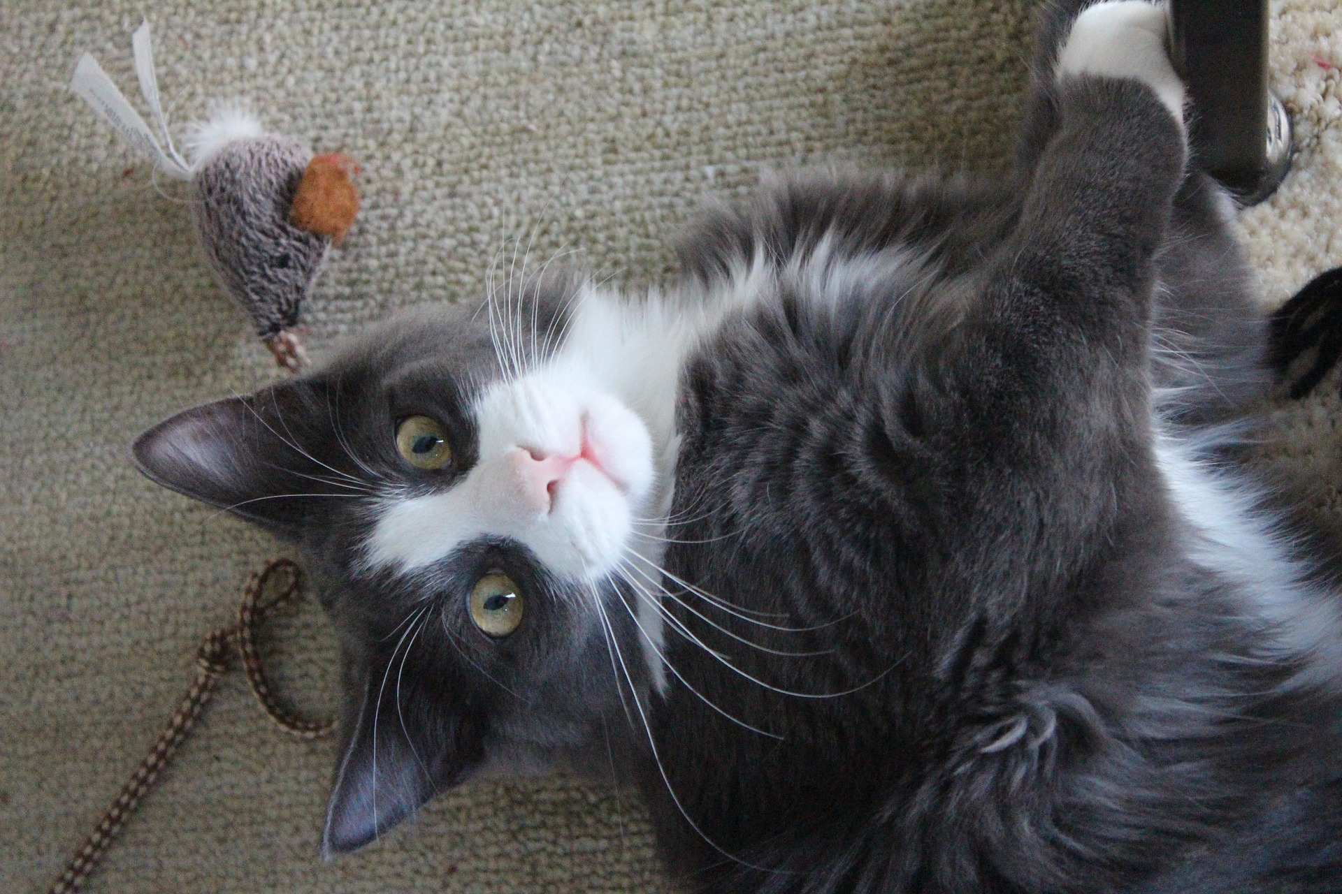 cat playing with feather toy and looking at camera