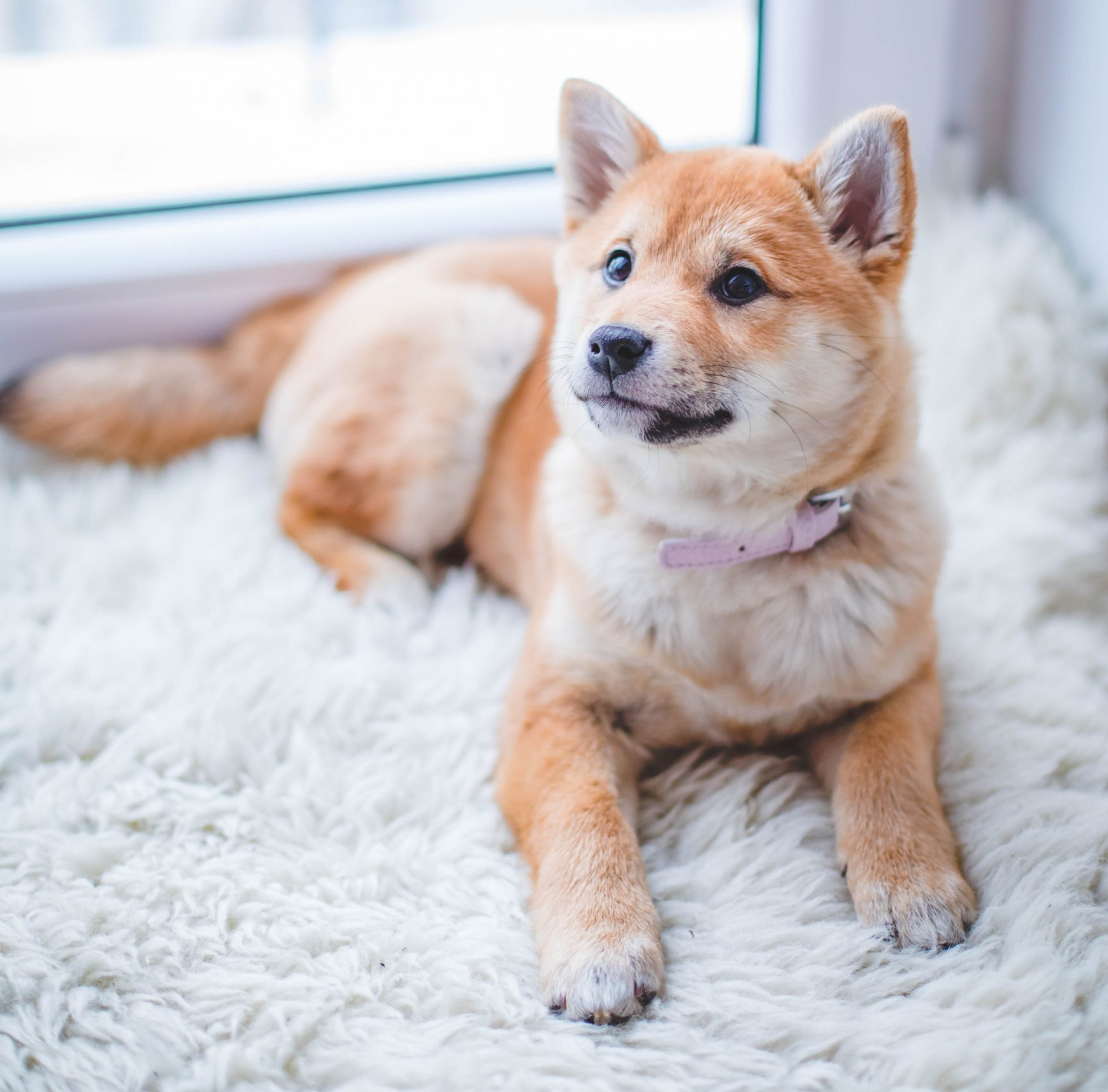 cute dog on fluffy carpet