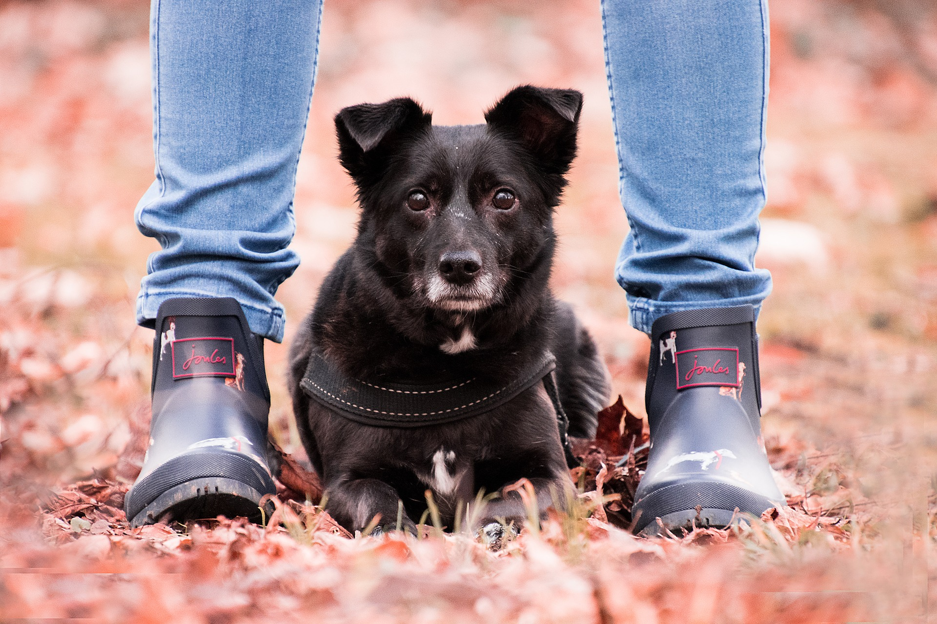 black dog laying in leaves between owner's feet