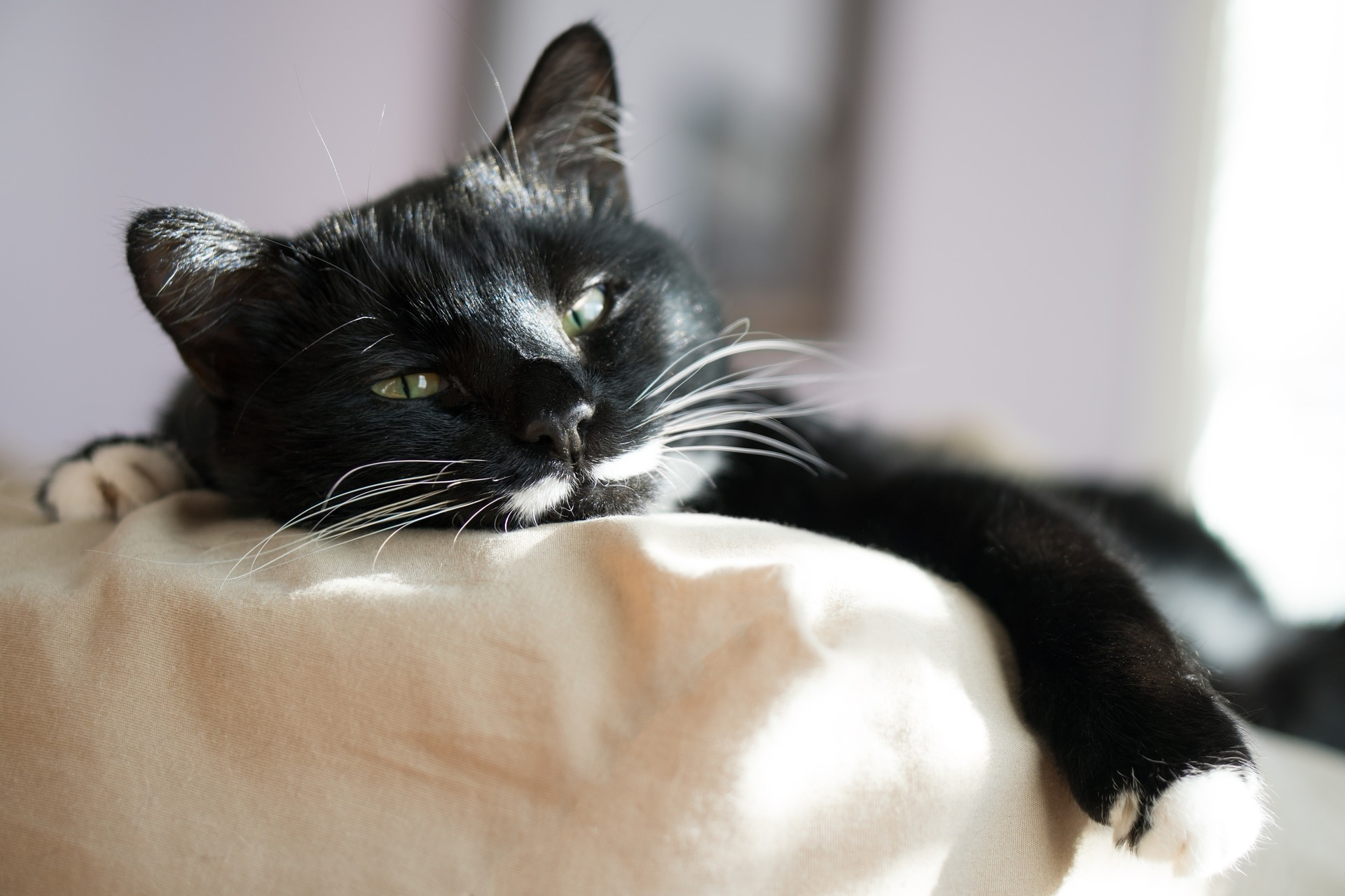 sleepy black cat with white paws napping on clean sheets