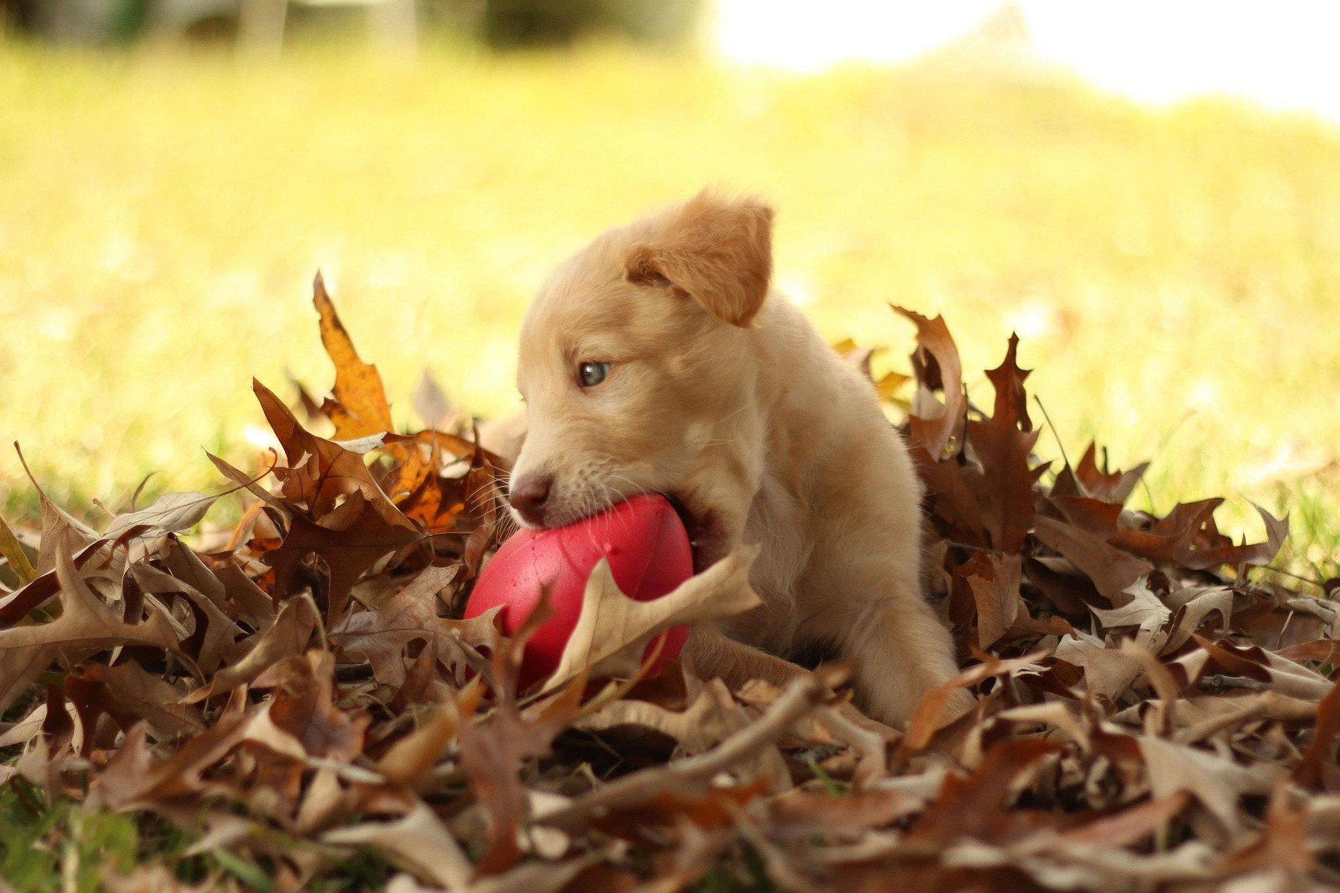 cute brown puppy playing in leaves with new red toy ball