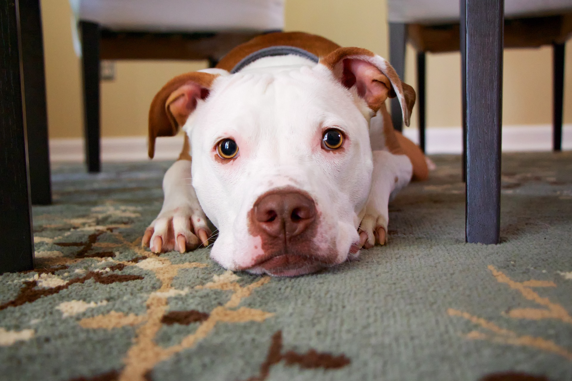 Mixed breed adolescent dog lying on rug