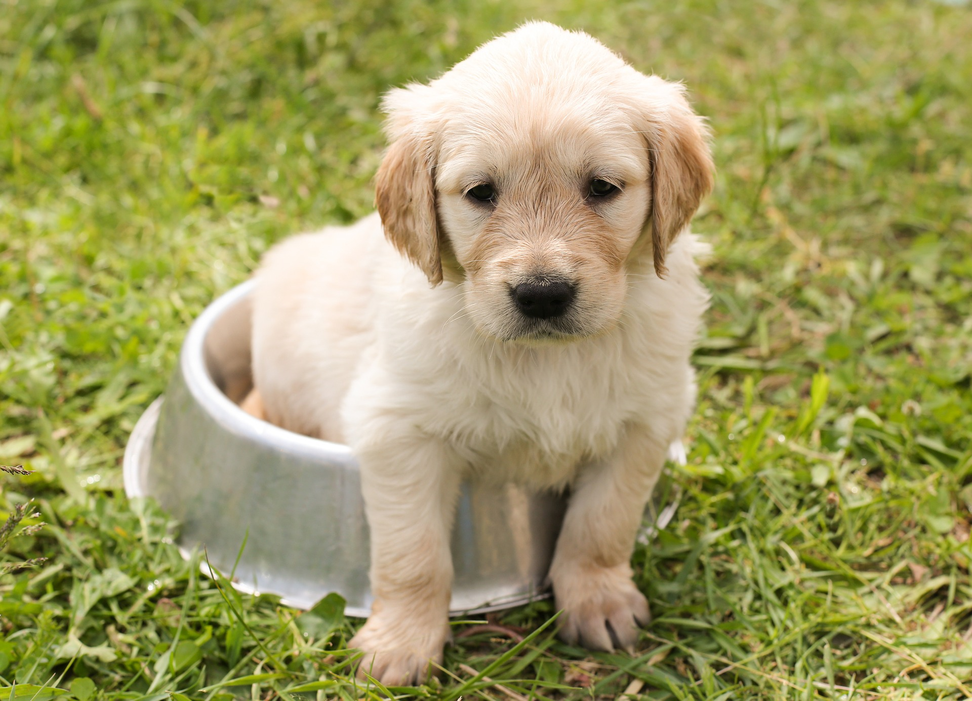 young golden retriever puppy sitting in a food bowl in the grass